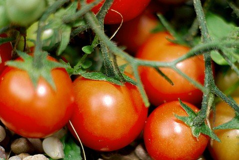 15 Tomato Tips for a Successful Tomato Garden: From Container Mix to Epsom Salt & A Bonus Tip 1