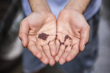 Seed Saving, Seed Saving Tips,Hands holding seeds