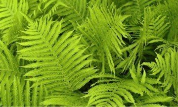 dehumidifying plants Boston fern