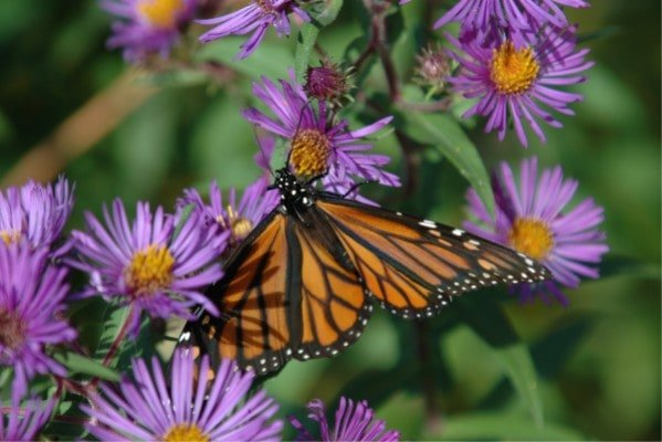 Flowers that Attract Butterflies for Beginners 1