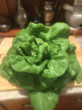 How To Grow Hydroponic Lettuce Successfully! 1