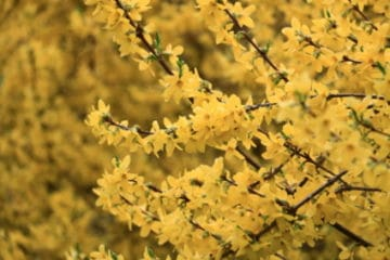 Forsythia: Facts,Care,5 Tips Bushes 1