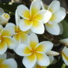 Jasmine Plant Care Tips, And Benefits 7