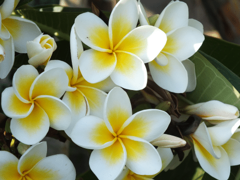Jasmine Plant Care Tips, And Benefits 1