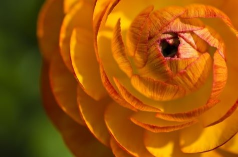 Ranunculus|Growing|Facts|9 Tips 1