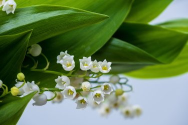 Lily Of The Valley Planting Tips And Care 1